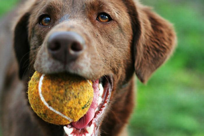 """Cómo enseñar el """"suelta"""" a nuestro perro"""